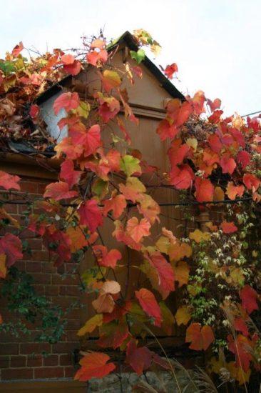 Vitis coignetiae mit Herbst-Laub © Isabelle van Groeningen