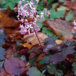 Saxifraga corthusifolia 'Black Beauty' © Isabelle van Groeningen
