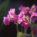 Primula rosea © Isabelle van Groeningen