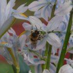 Scilla mischtschenkoana mit Biene © Isabelle van Groeningen