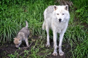 history of dogs wolf pup