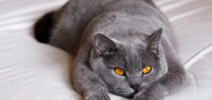 british shorthair cat bed