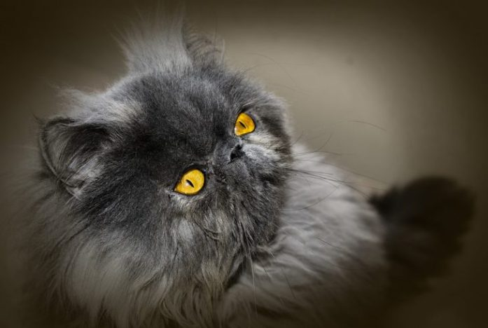 persian cat black