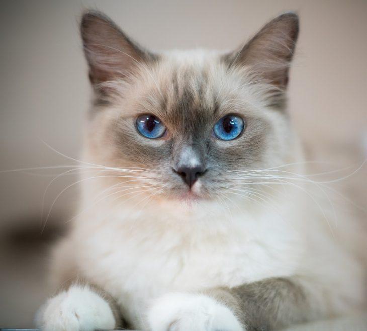 Introduction To Cat Breeds Ragdoll Cat Kohepets Blog