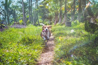 happy beagle running in nature