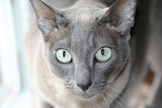 Close up of a grey tonkinese cat