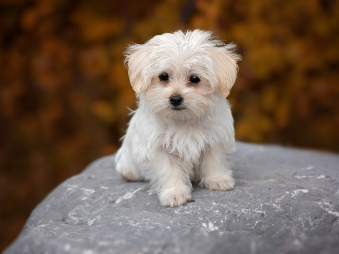 adorable white maltese dog breed puppy
