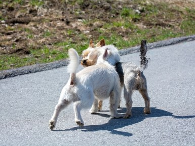 adorable white maltese dog breed playing with another dog breed