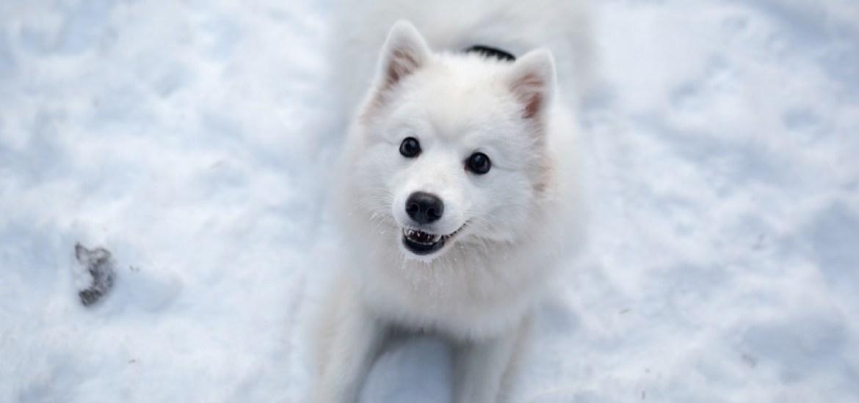 japanese spitz dog breed on snow