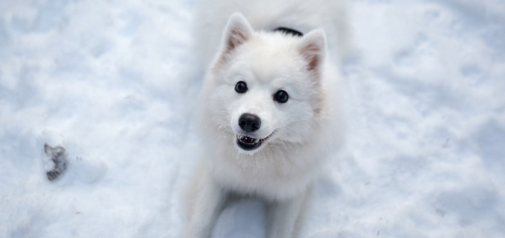 japanese spitz dog breed on snow