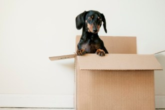 cute black dachshund breed in a box