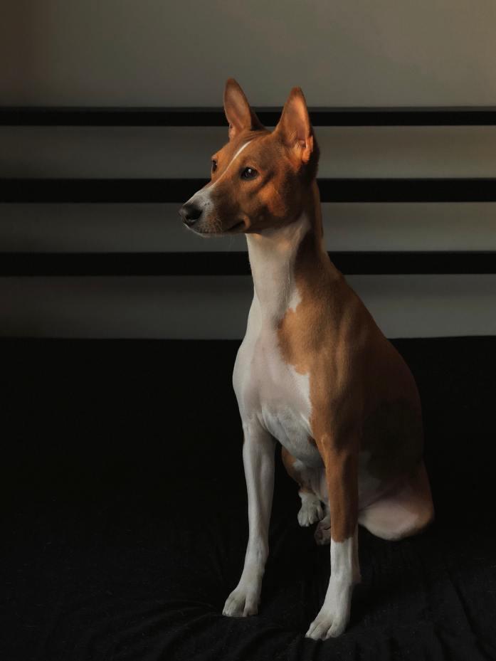 basenji oldest dog breeds