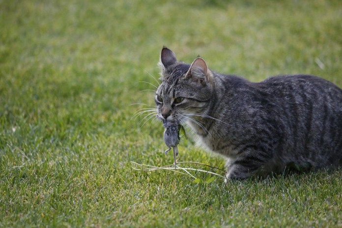 cat with dead mouse