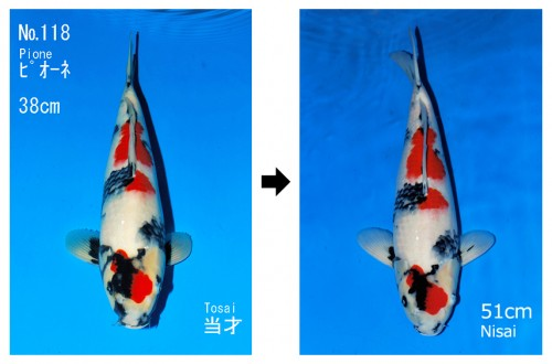2015 jumbo tosai grow out competition for Tosai koi for sale
