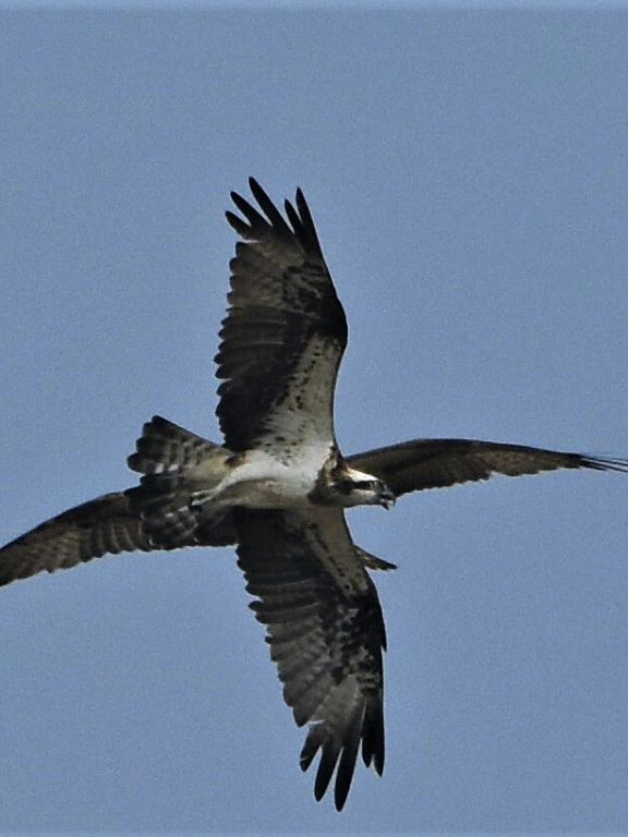 Ospreys from Uppungal Kole