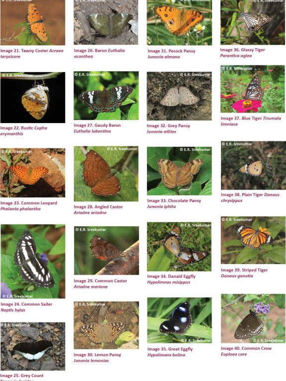 Butterflies of the Kole Wetlands, a Ramsar Site in Kerala, India