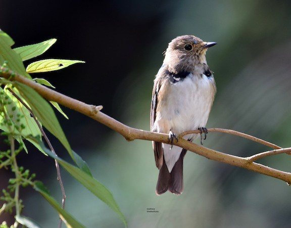 Blue and White Flycatcher, 522th Bird of Kerala