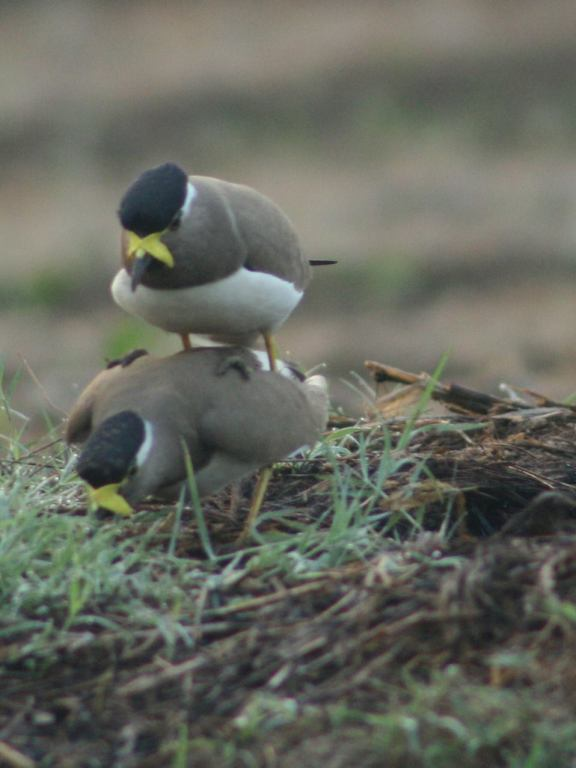Breeding ecology of yellow- Wattled lapwing Vanellus malabaricus in the Kole Wetlands of Thrissur, Kerala