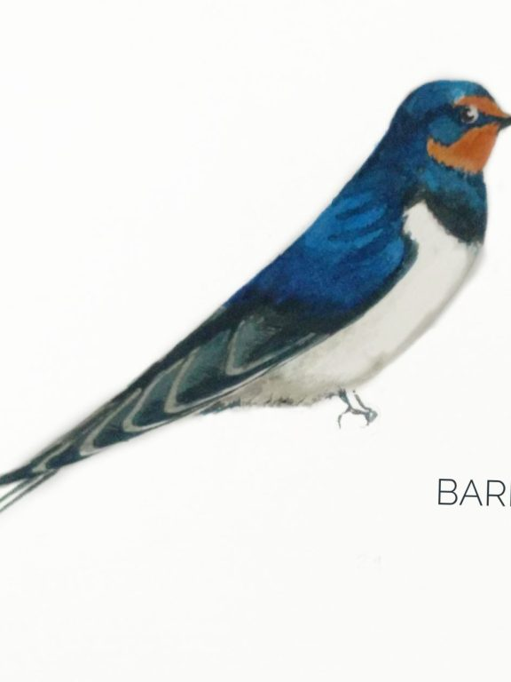 #7- Barn Swallow
