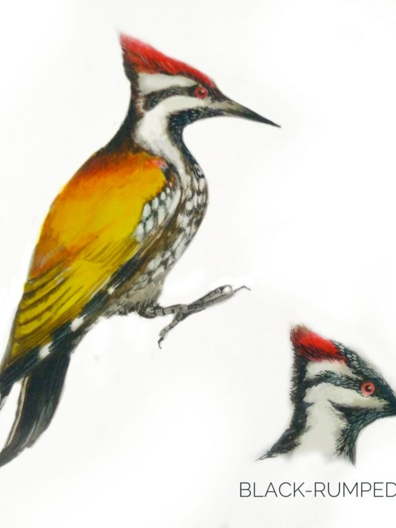 #13- Black-rumped Flameback