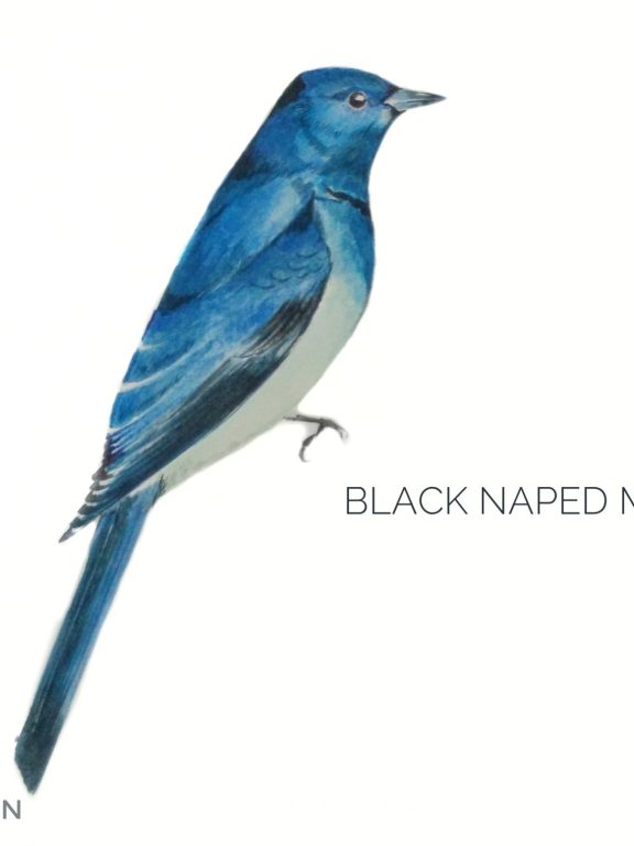 #11- Black-naped Monarch