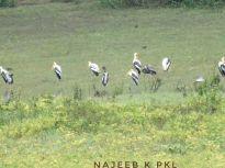 Painted Storks by Najeeb K