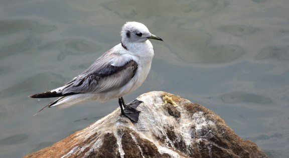 Black-legged Kittiwake from Chamravattom, Malappuram