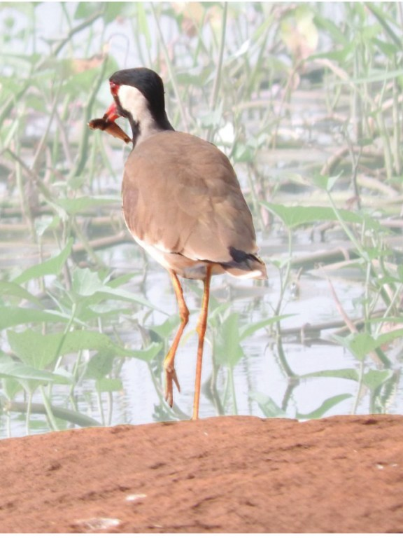 Is Red-Wattled Lapwing Vanellus Indicus A Piscivore?