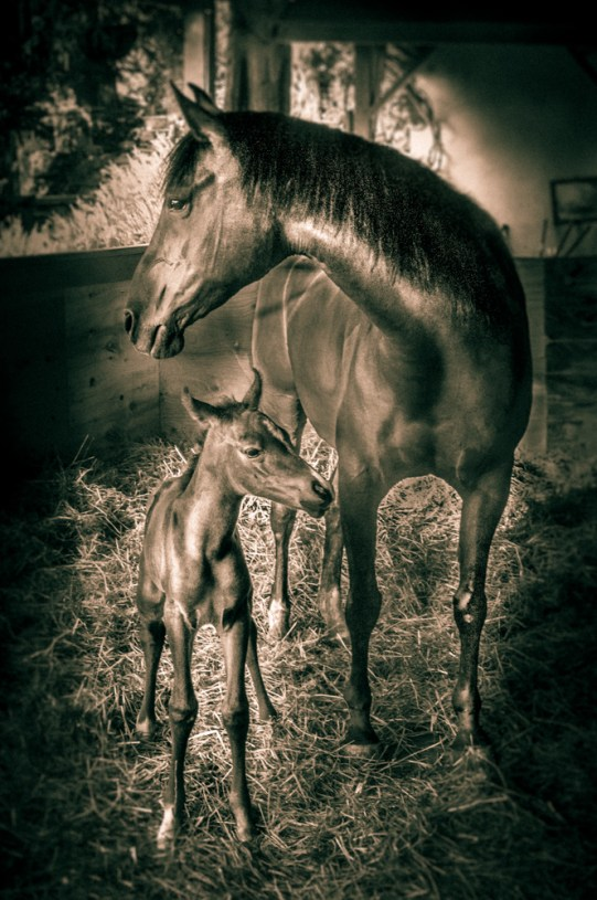 A newborn foal (baby horse) with her Mom