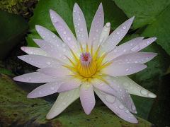 lotus in mauritius