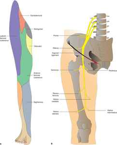 The Femoral Nerve Branch