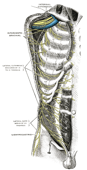 intercostal nerves