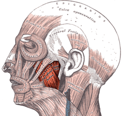 The Masseter muscle