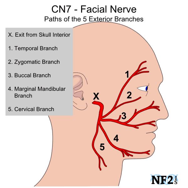 Kyusho Jitsu Basics -The Facial Nerves