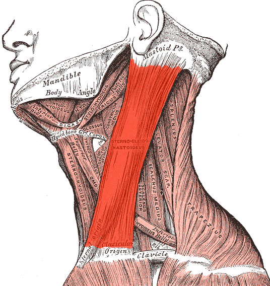 Pressure Point SI-16 The Sternocleidomastoideus Muscle