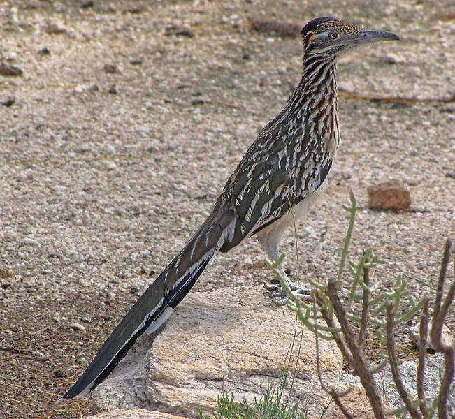 Geococcyx_californianus_-Tucson_-Arizona_-USA-8