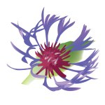 fleur_05-05_centauree
