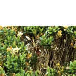 BUXUS DISEASE – Problems with box hedging