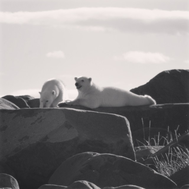 Two polar bear cubs lounge on the rocks on the coast of Hudson Bay north of Churchill MB.Two polar bear cubs lounge on the rocks on the coast of Hudson Bay north of Churchill MB.Two polar bear cubs lounge on the rocks on the coast of Hudson Bay north of Churchi