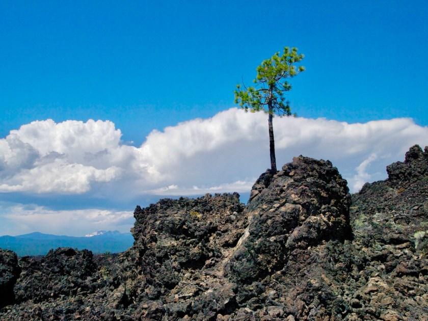 Lava Field Tree