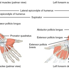 Muscle Diagram Anterior Hand Wild Turkey Anatomy Upper Limb Musculature Of The Forearm And Lecturio