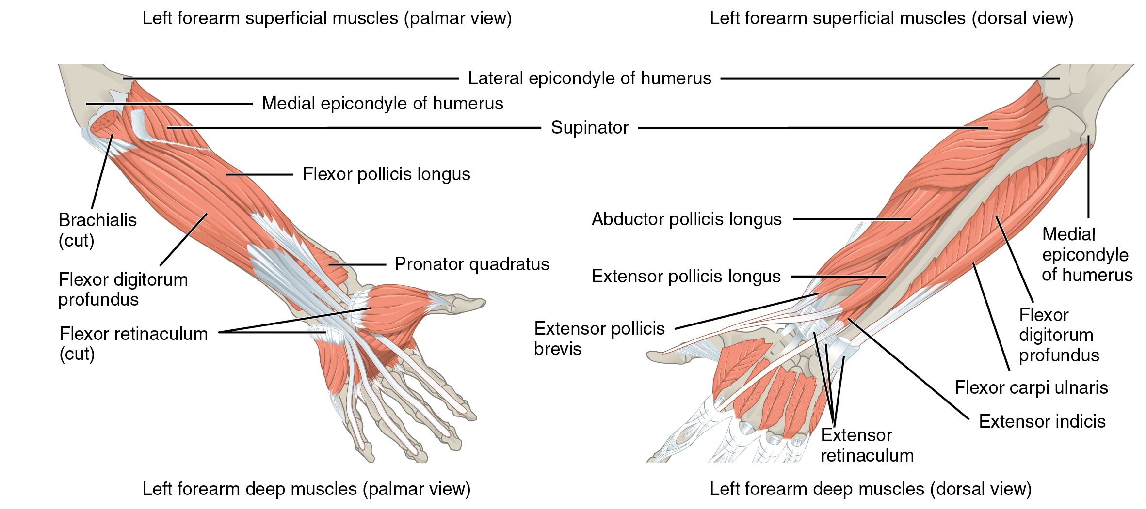 muscle diagram anterior hand guitar wiring 1 humbucker volume upper limb musculature of the forearm and lecturio