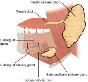 Oral Cavity: Anatomy, Functions, and Diseases | Medical