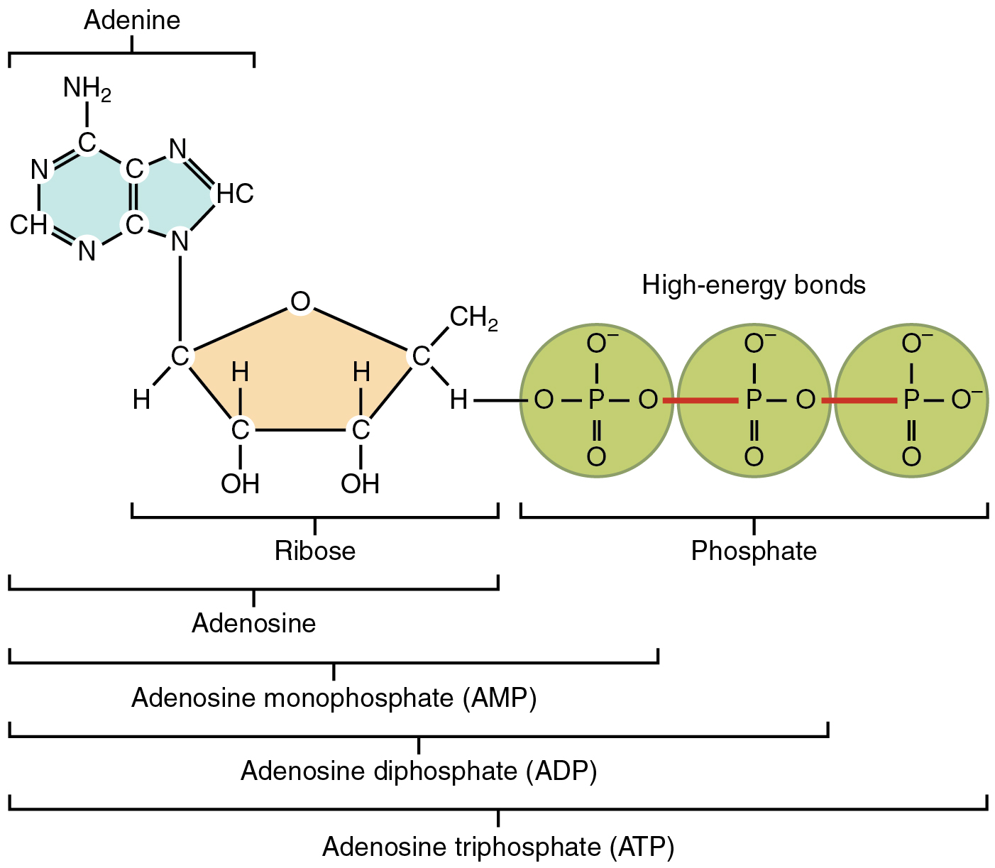 adp molecule diagram labeled 3 phase wire adenosintriphosphat atp  energieeinheit des lebens