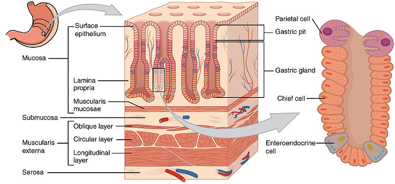human cell wall diagram labeled wiring 7 pin plug magenschleimhaut (tunica mucosa gastrica) || med-kom