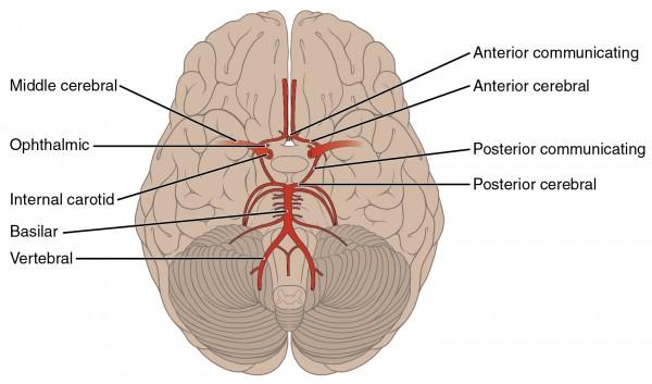 blank skull diagram anterior two pole gfci breaker wiring neuroanatomie: blutversorgung des gehirns