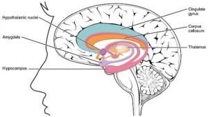 Telencephalon – Medizinisches Fachwissen   Lecturio Med