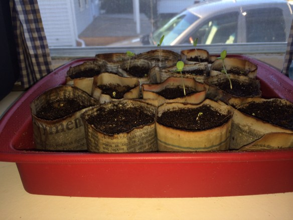 I have sprouts! And once it gets warmer (40° high today) I look forward to setting plants out to harden off.