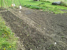 "The garden just after planting peas and lettuce in back left corner, 160 walla walla and texas sweet onions in row on left edge up to near left, first saturday in april. Strawberry patch in center back still overgrown and un-netted. Rest of area freshly scraped of weeds by a hoe and the soil loosened an broken up by hand with a garden fork. about to spread 3 bales of straw 6-8"" deep over whole area but 1/2"" deep in onion bed. Shallow roots and bulbs need light and water to grow"