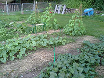 Sweet potatoes, mixed row of melons